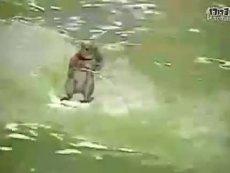 0001超可爱小松鼠滑水表演
